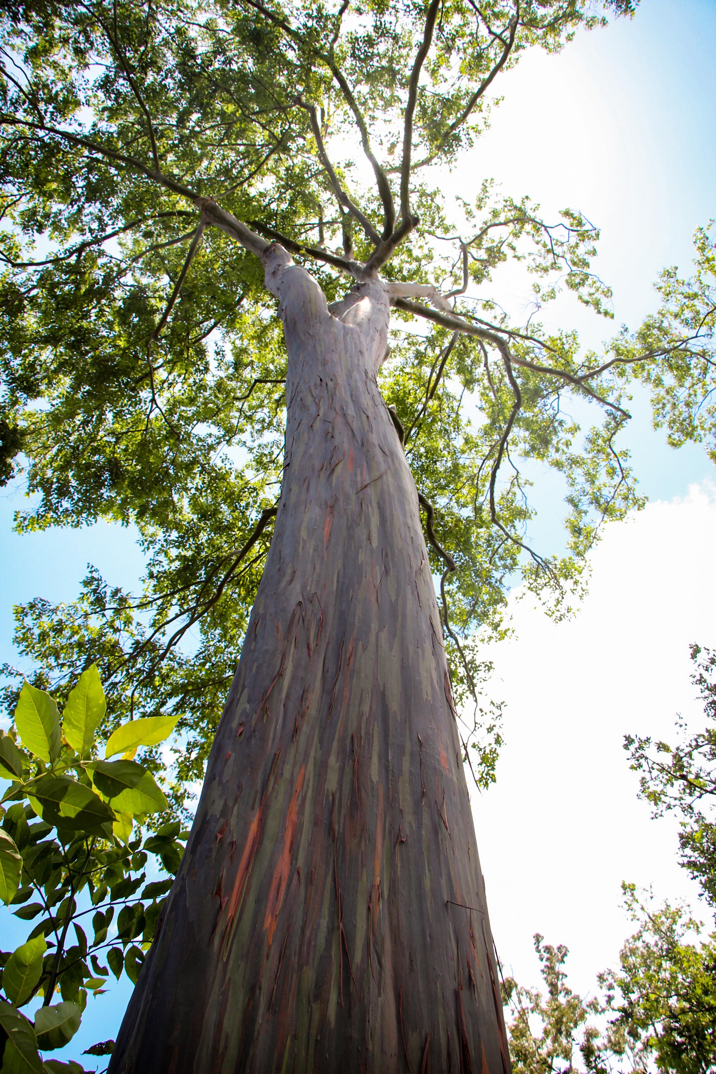 Mindanao Gum Eucalyptus deglupta