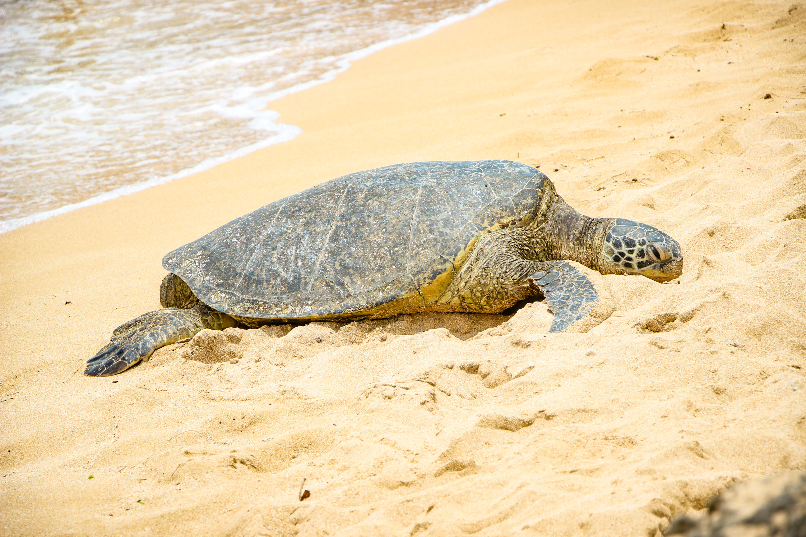 Laniakea Beach Turtle Beach