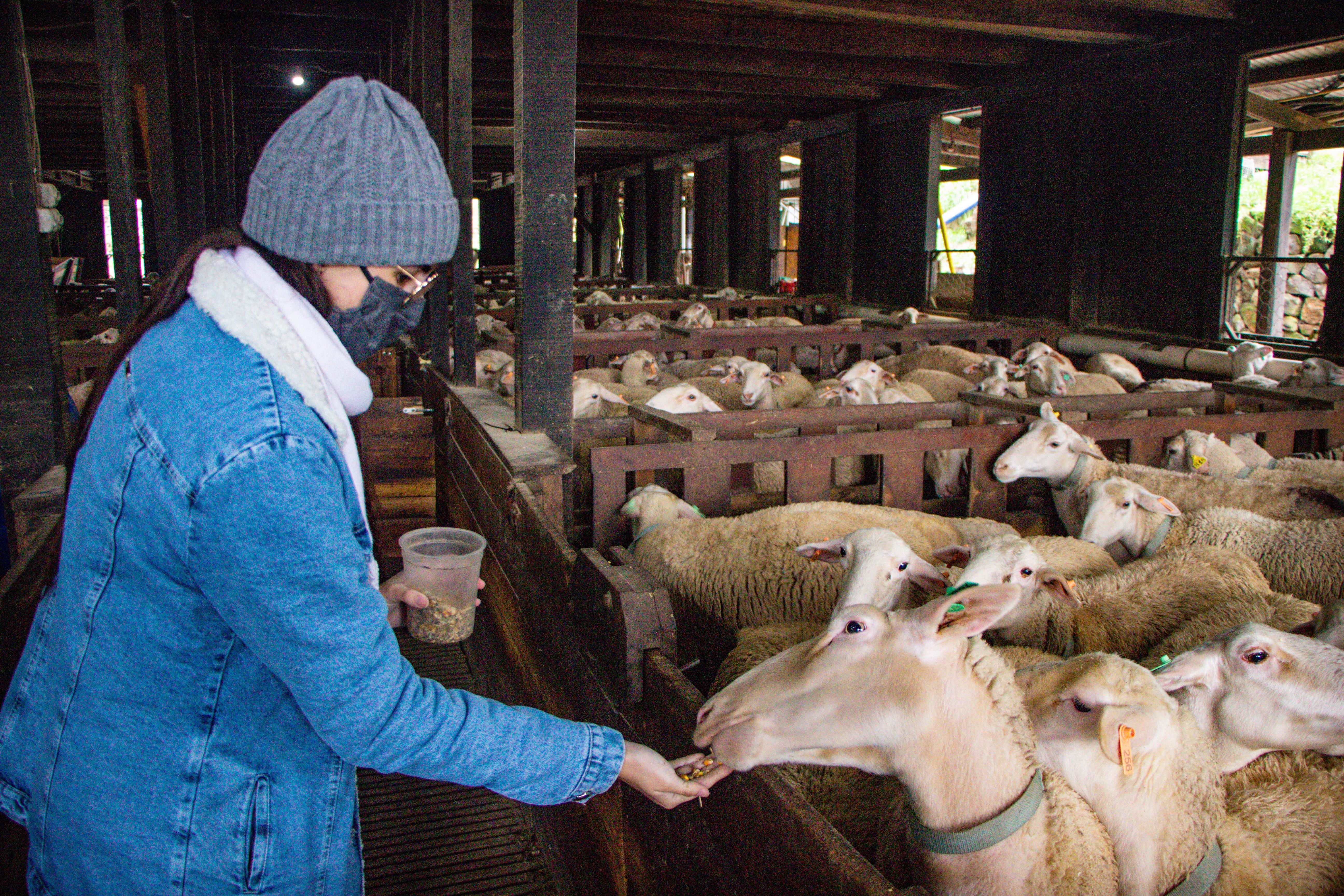 PARQUE DA OVELHA Alimentação de Ovelha